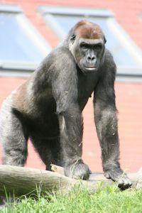 gorilla-310004-m